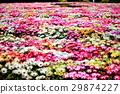 데이지, 꽃밭, 봄 29874227