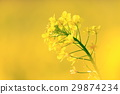 rape, rape blossoms, lifting 29874234