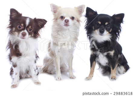 Three different chihuahua dogs sitting isolated 29883618