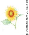해바라기, 식물, 여름 29883640