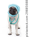 Cute pug with physician hood 29885688