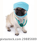 Cute pug with physician hood 29885689