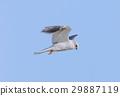 White-tailed Kite - Elanus leucurus, Adult. 29887119