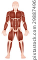 Large Muscle Groups Male Body Front View 29887496