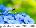 繡球花 昆蟲 蜜蜂 29888402
