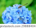 蜻蜓 昆蟲 蟲子 29888404