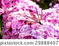 黑麗翅蜻蜓 昆蟲 蜻蜓 29888407