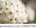 Macro of Spring Blossoms Narrow Depth of Field. 29890788