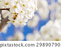 Honeybee Harvests Pollen of Blossoming Tree Buds. 29890790