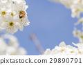 Honeybee Harvests Pollen of Blossoming Tree Buds. 29890791