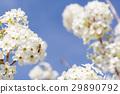Honeybee Harvests Pollen of Blossoming Tree Buds. 29890792