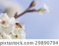 Honeybee Harvests Pollen of Blossoming Tree Buds. 29890794