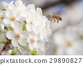 Honeybee Harvests Pollen of Blossoming Tree Buds. 29890827