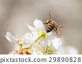 Honeybee Harvests Pollen of Blossoming Tree Buds. 29890828