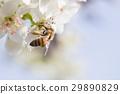 Honeybee Harvests Pollen of Blossoming Tree Buds. 29890829