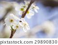 Honeybee Harvests Pollen of Blossoming Tree Buds. 29890830
