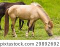 Horse in field 29892692