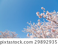 만개, 봄의, 식물 29892935
