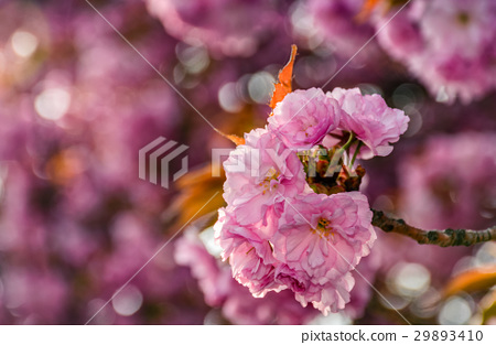 Sakura flower blossom in garden at springtime 29893410