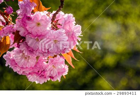 Sakura flower blossom in garden at springtime 29893411