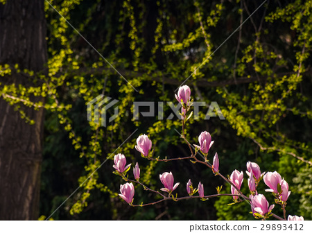 Magnolia flower blossom in spring 29893412