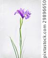 Watercolored iris 29896650