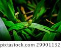 Grasshopper on green leaf 29901132