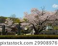 벚나무, 벚꽃, 꽃 29908976