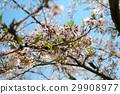 벚나무, 벚꽃, 꽃 29908977