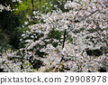 벚나무, 벚꽃, 꽃 29908978