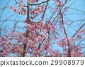 벚나무, 벚꽃, 꽃 29908979