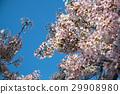 벚나무, 벚꽃, 꽃 29908980