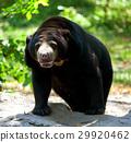 Black Bear 29920462