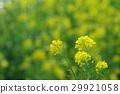rape, blossoms, broccolini 29921058