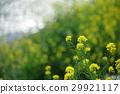 油菜花 油菜 强奸的花朵 29921117