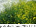 油菜花 油菜 强奸的花朵 29921118