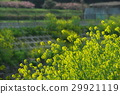 rape, blossoms, broccolini 29921119
