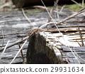 lizard, lacertid, takydromus tachydromoides 29931634