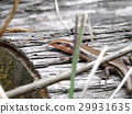 蜥蜴 日本蜥蜴 爬行動物 29931635
