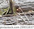 lizard, lacertid, takydromus tachydromoides 29931637