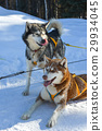 Dog sled in Alaska during winter 29934045