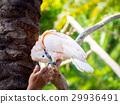 bird, cockatoo, parakeet 29936491