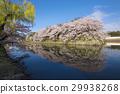 hikone castle, nakahori, cherry blossom 29938268