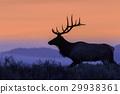 elk, wildlife, sunrise 29938361