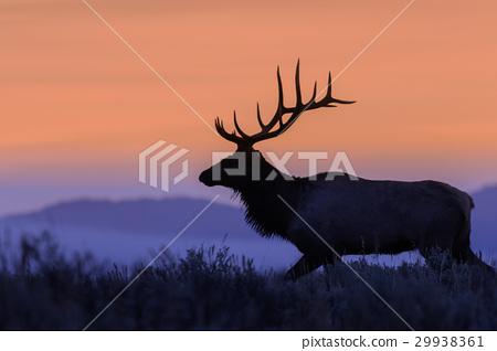 Bull Elk at Sunrise 29938361