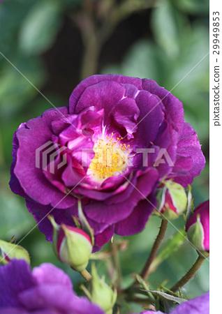 玫瑰 玫瑰花 荊棘 29949853