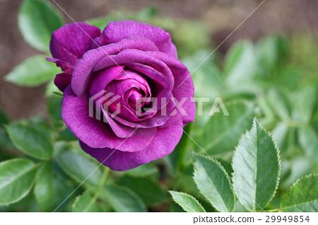 玫瑰 玫瑰花 荊棘 29949854