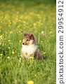 American collie puppy in the meadow 29954912