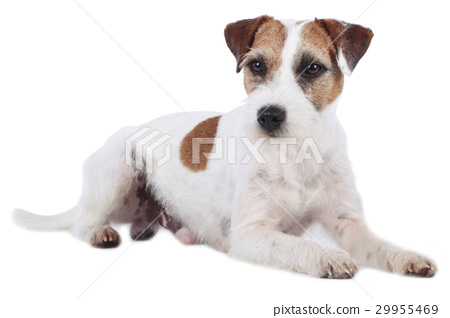 Parson Russell Terrier isolated 29955469
