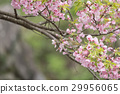 small bird, cherry blossom, flower 29956065